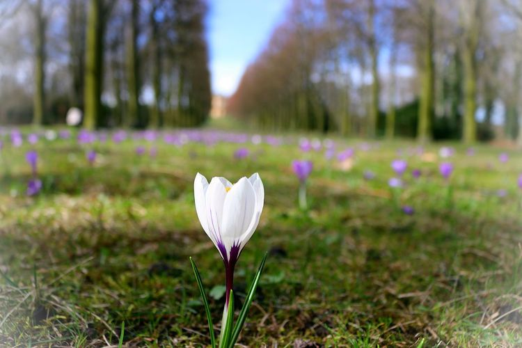 Beauty In Nature Blooming Close-up Crocus Day Field Flower Flower Head Focus On Foreground Fragility Freshness Grass Growth Nature No People Outdoors Petal Plant Potsdam Potsdam Park Sanssouci San Souci Palace Sky Tranquility Tree White The Great Outdoors - 2017 EyeEm Awards Live For The Story