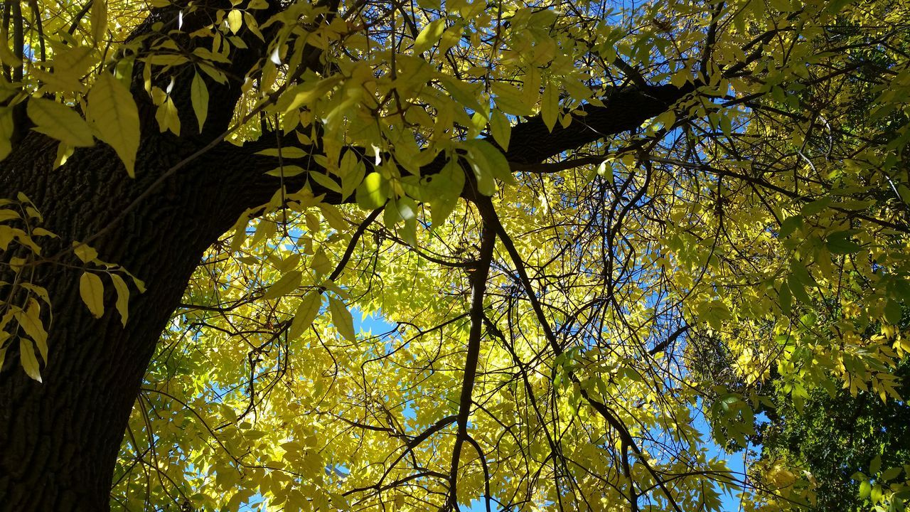 tree, branch, low angle view, growth, nature, day, outdoors, leaf, beauty in nature, no people, autumn, freshness