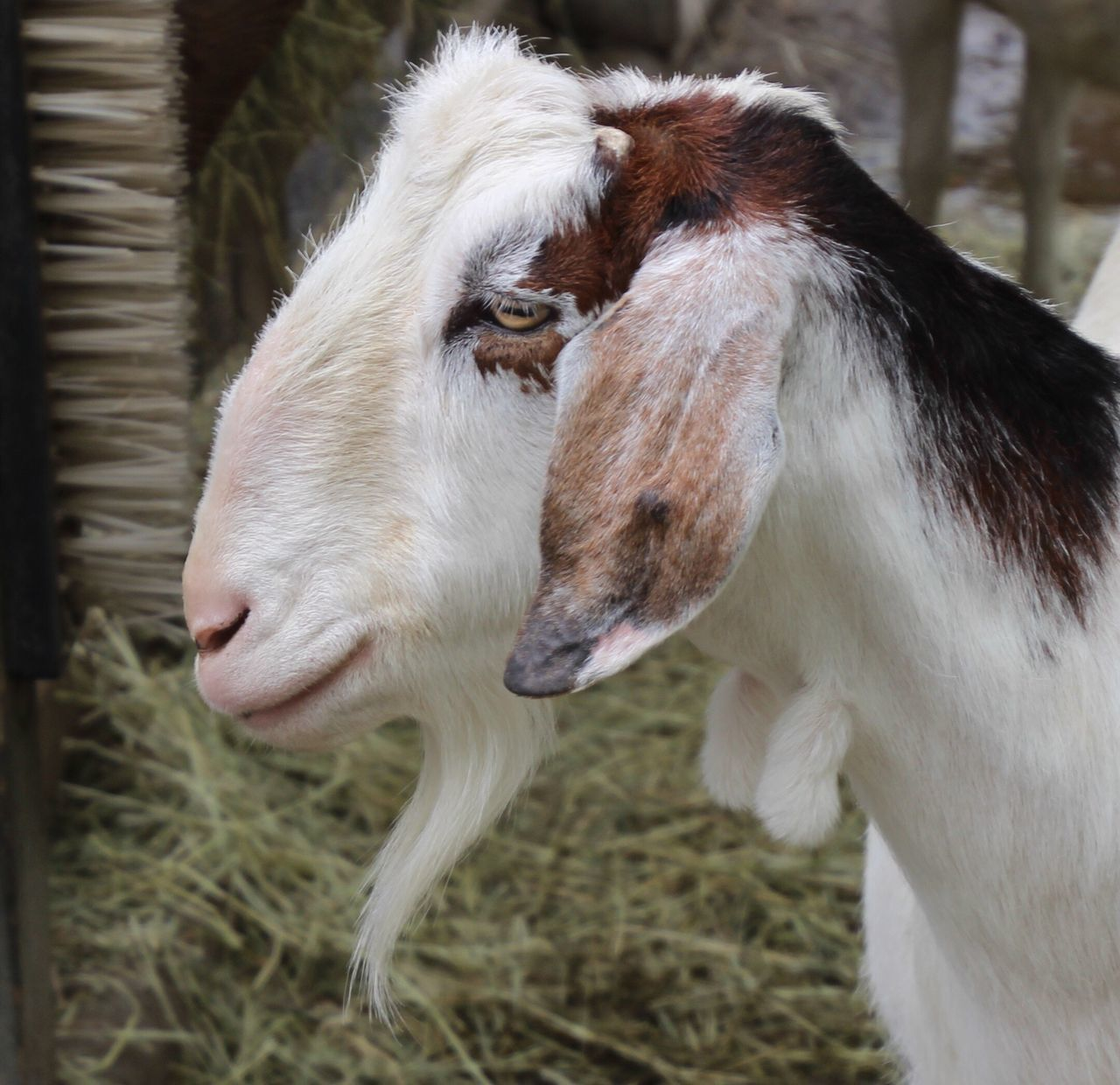 Animal Themes Livestock Close-up Pensive Goat Outdoors Nature No People Focus On Foreground