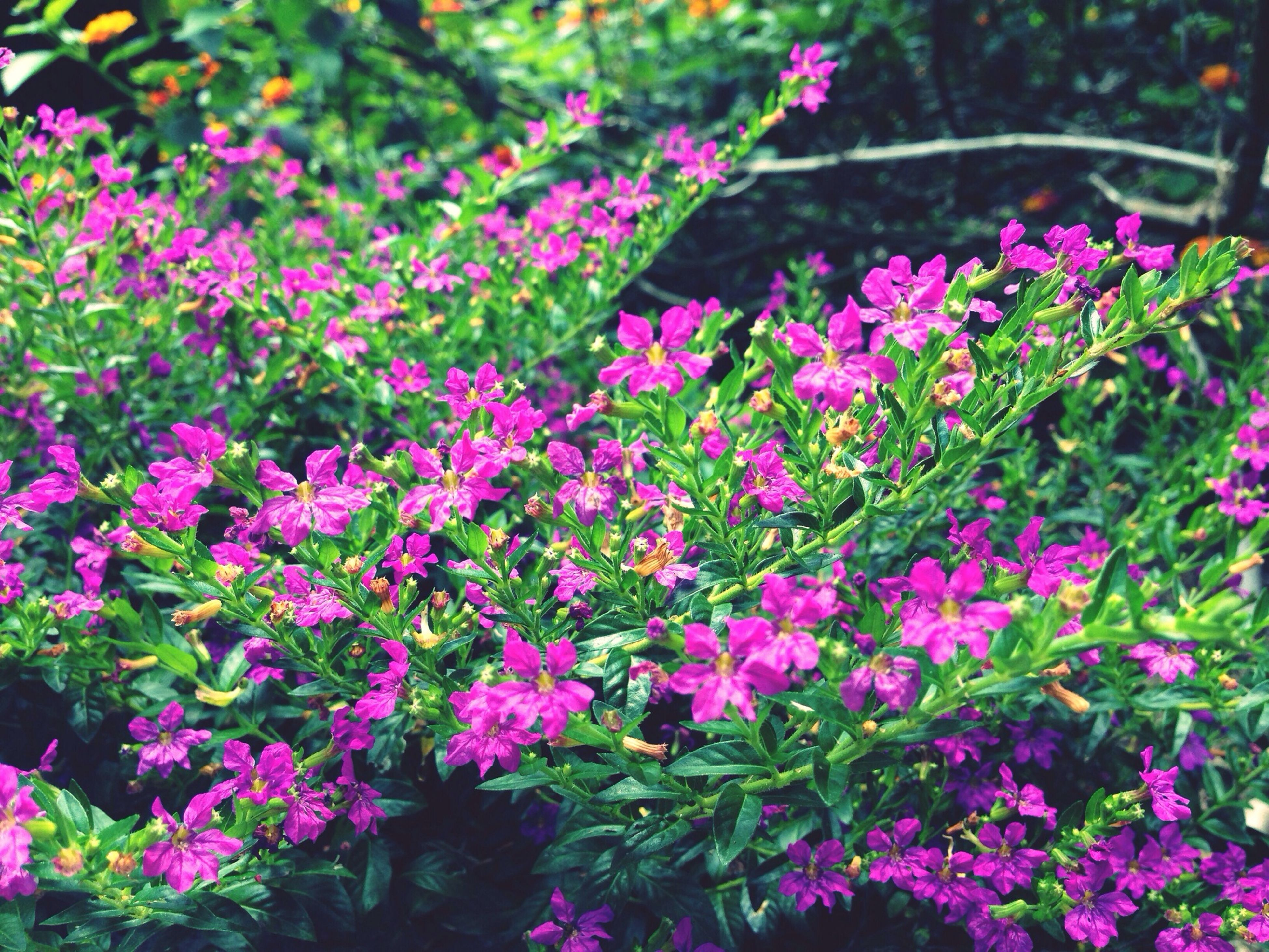 flower, freshness, growth, fragility, beauty in nature, petal, blooming, nature, pink color, plant, purple, in bloom, park - man made space, blossom, abundance, springtime, flower head, botany, outdoors, day