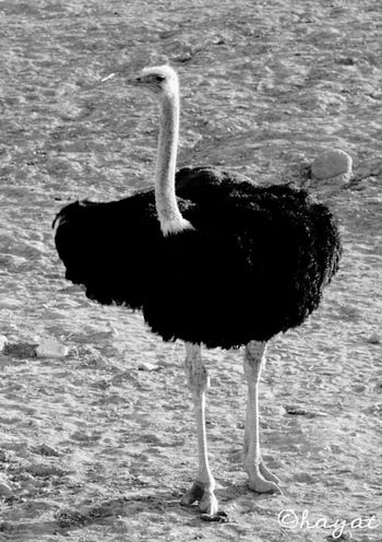 Shades Of Grey Blackandwhite Black And White Black & White Animals Pets Ostrich Cheese! Taking Photos Portrait
