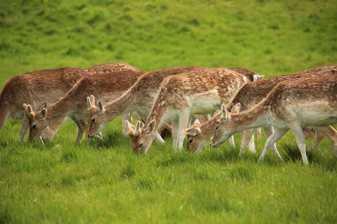 Deer Grazing On Field