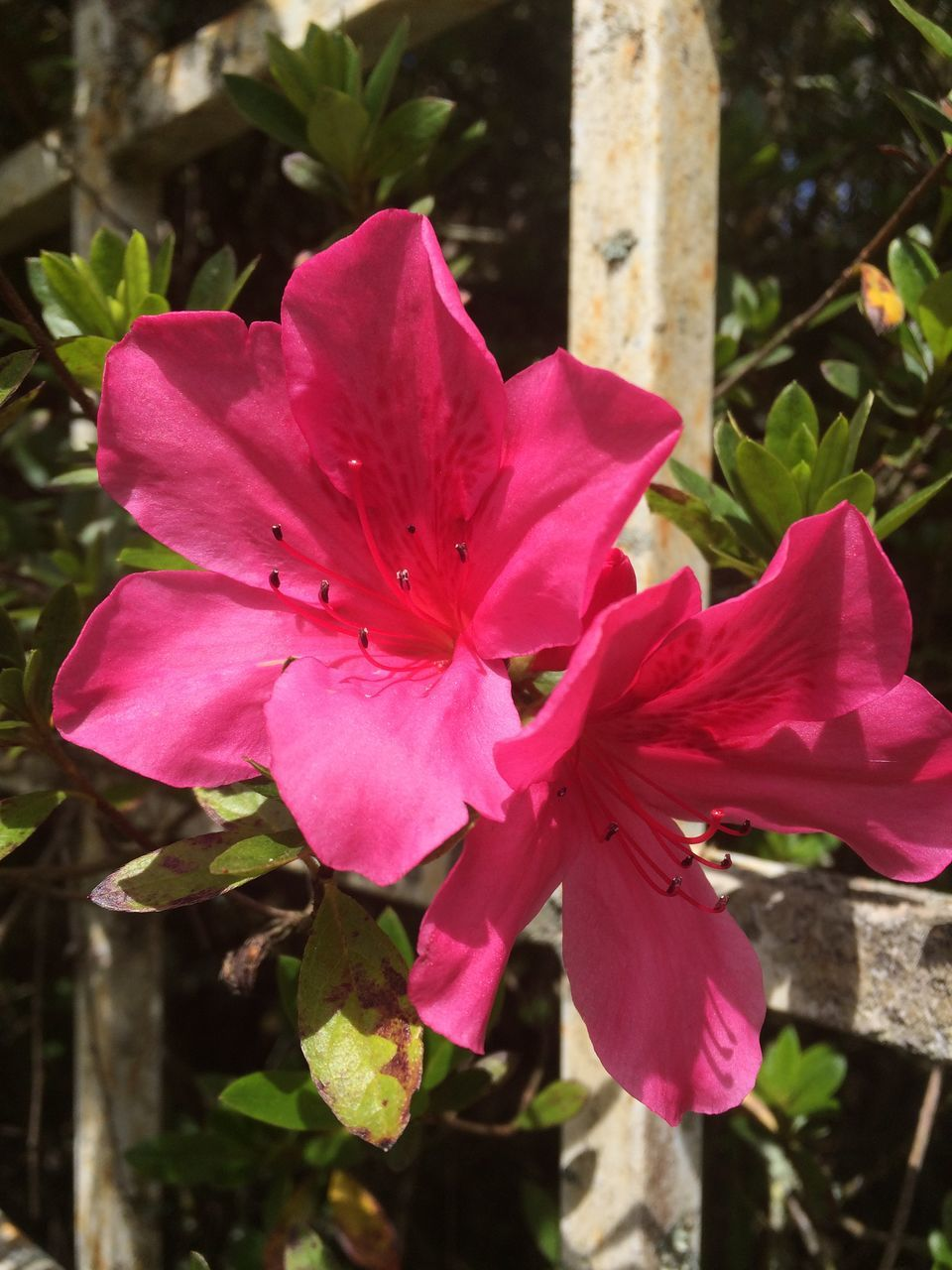 pink color, flower, petal, beauty in nature, fragility, nature, no people, close-up, outdoors, growth, day, plant, flower head, freshness, blooming, hibiscus, petunia, periwinkle