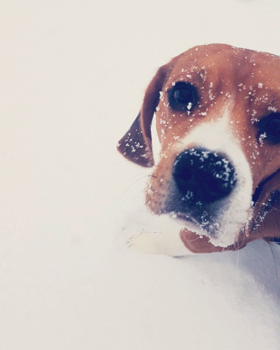 Dog Pets One Animal Looking At Camera Domestic Animals Portrait White Background No People Winter Alpine Snow Snow❄⛄ Minimal Minimalistic Beagle Beaglelovers Beagleoftheday Beagles  Beaglelove