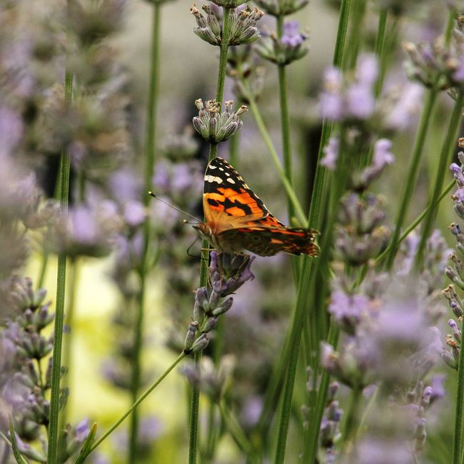 Butterfly Painted Lady Lavender Nature