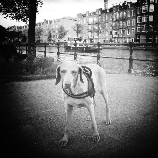 i love this old girl soooo much Weimaraner Amsterdam