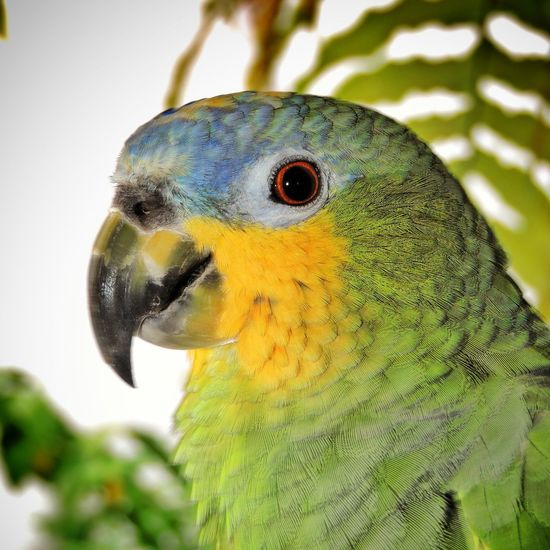 Brazilian parrot, green and yellow, with blurred background, bird's head. Animals In The Wild Bird Photography Brazilian Parrot Brazilian Parrot, Green And Yellow, With Blurred Background, Bird's Head. Exotic Exotic Bird Papagaio Animal Themes Animal Wildlife Bird Birds Head Brazilian Bird Colorful Bird Green And Yellow  Macaw Macaw Parrot Nature One Animal Parrot Parrot Wild Pet With Blurred Backgroung