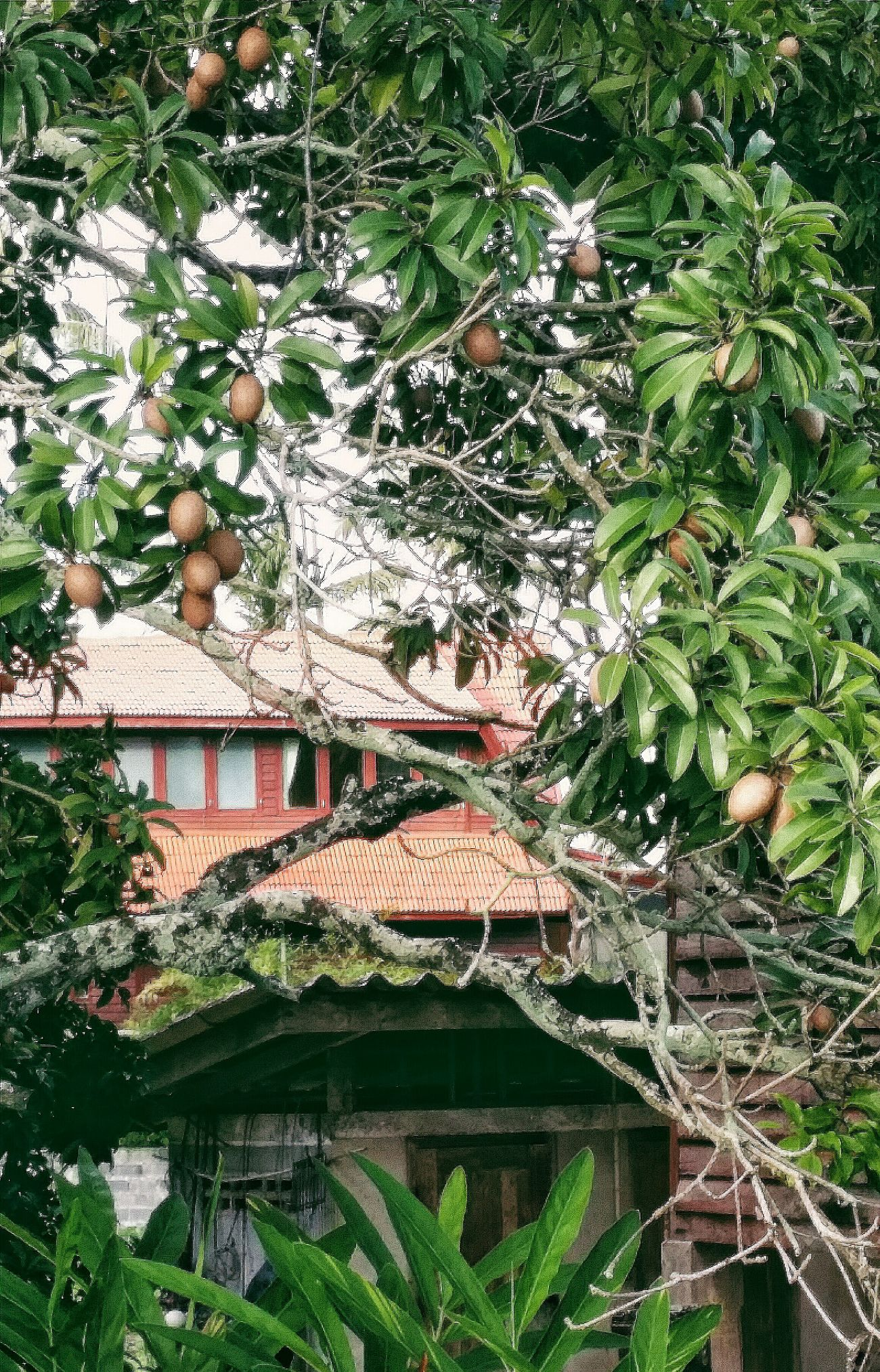 I believe these are Chikus Chiku Tree. I was pretty excited (my first chiku tree) ! Fruits Fruit Trees Building Architecture Architecturephotography Architecturecollection Architecturelovers Maenam Koh Samui Thailand Travelphotography Eyeemkohsamui Eyeemthailand Eyeemcollection Eyeemphotography