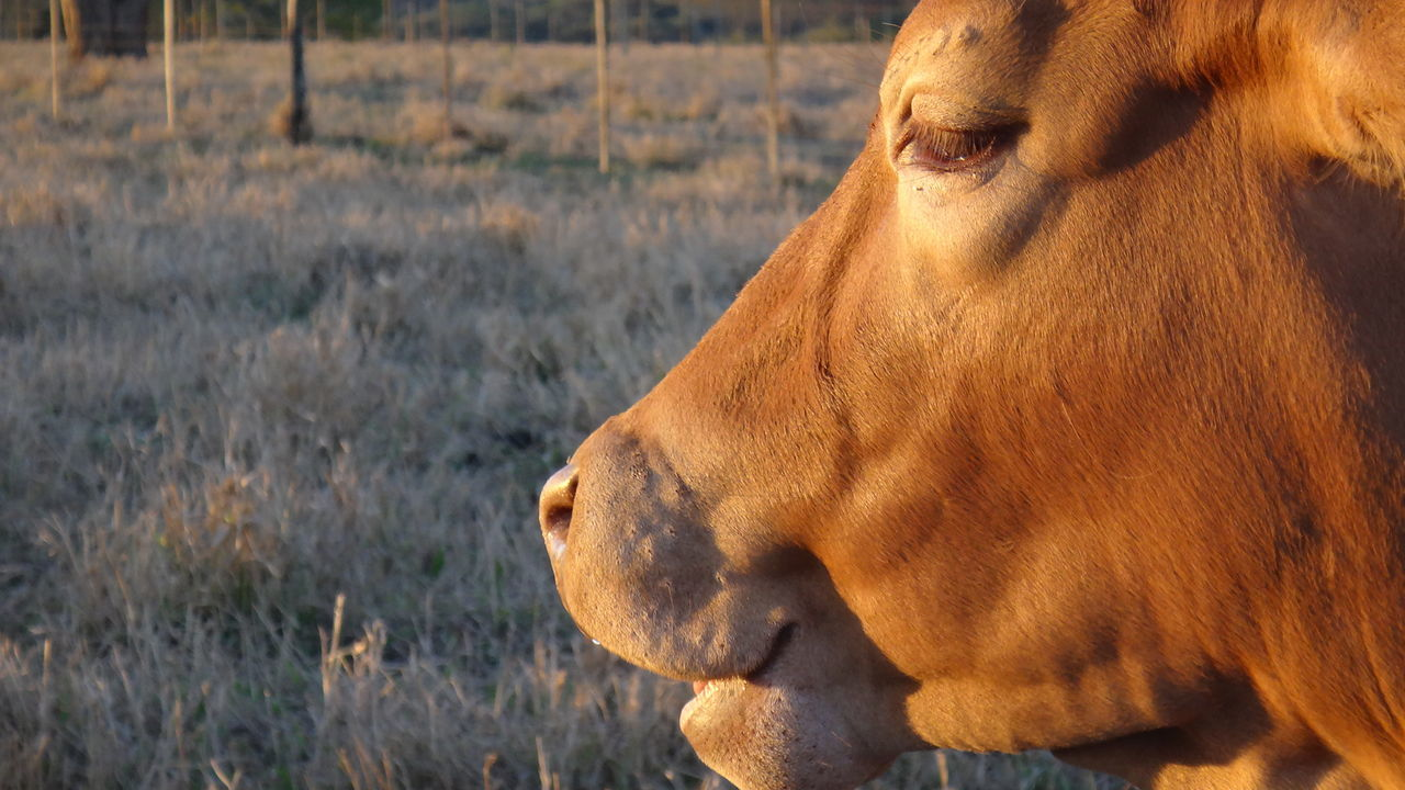 domestic animals, animal themes, mammal, one animal, field, brown, grass, no people, day, livestock, outdoors, close-up, nature