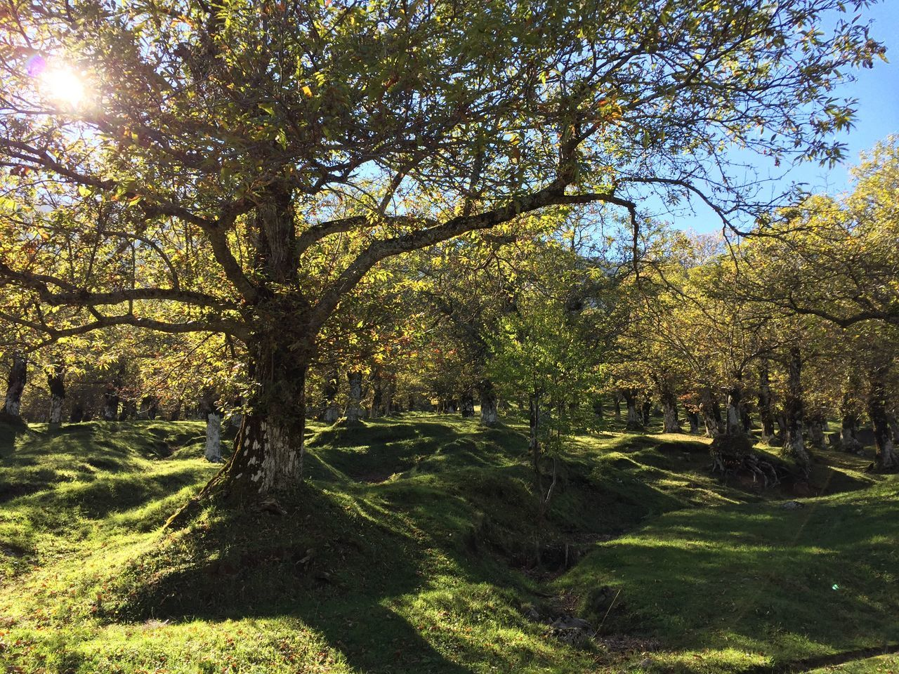tree, tranquility, sunlight, nature, day, outdoors, beauty in nature, tranquil scene, growth, grass, scenics, no people, summer, landscape