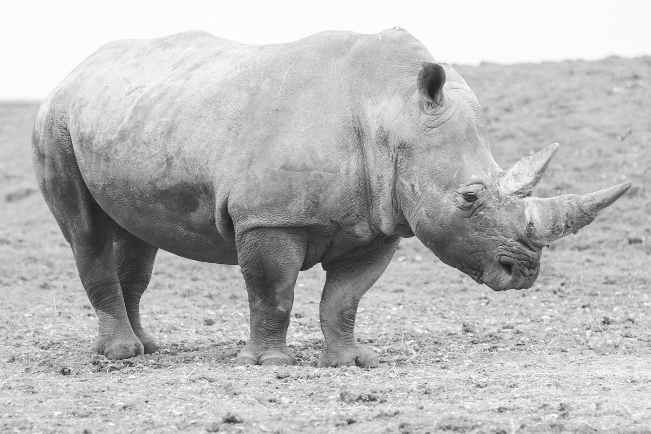 Rhino. Animal Animal Themes Animals In The Wild Black And White Day Endagered Species Endangered Animals Field Full Length Grass Mammal Nature One Animal Outdoors Rhinoceros Side View Standing Wildlife Wildlife & Nature Wildlife Photography Zoology