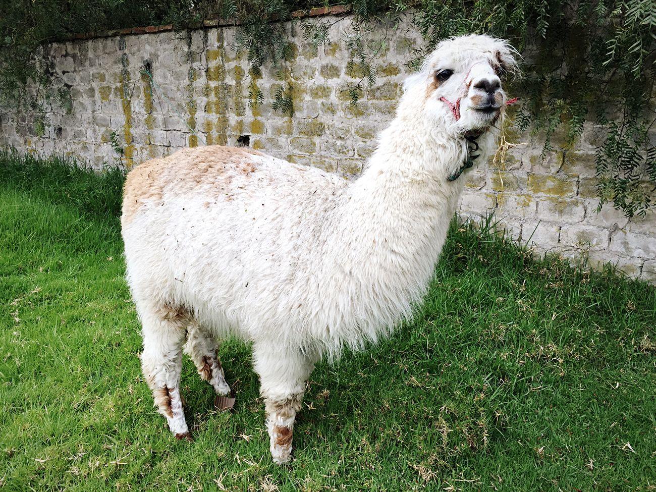 ¡Hola! An alpaca roaming around the grounds. Ecuador Cotopaxi Alpaca Open Edit Ecuador-pgw