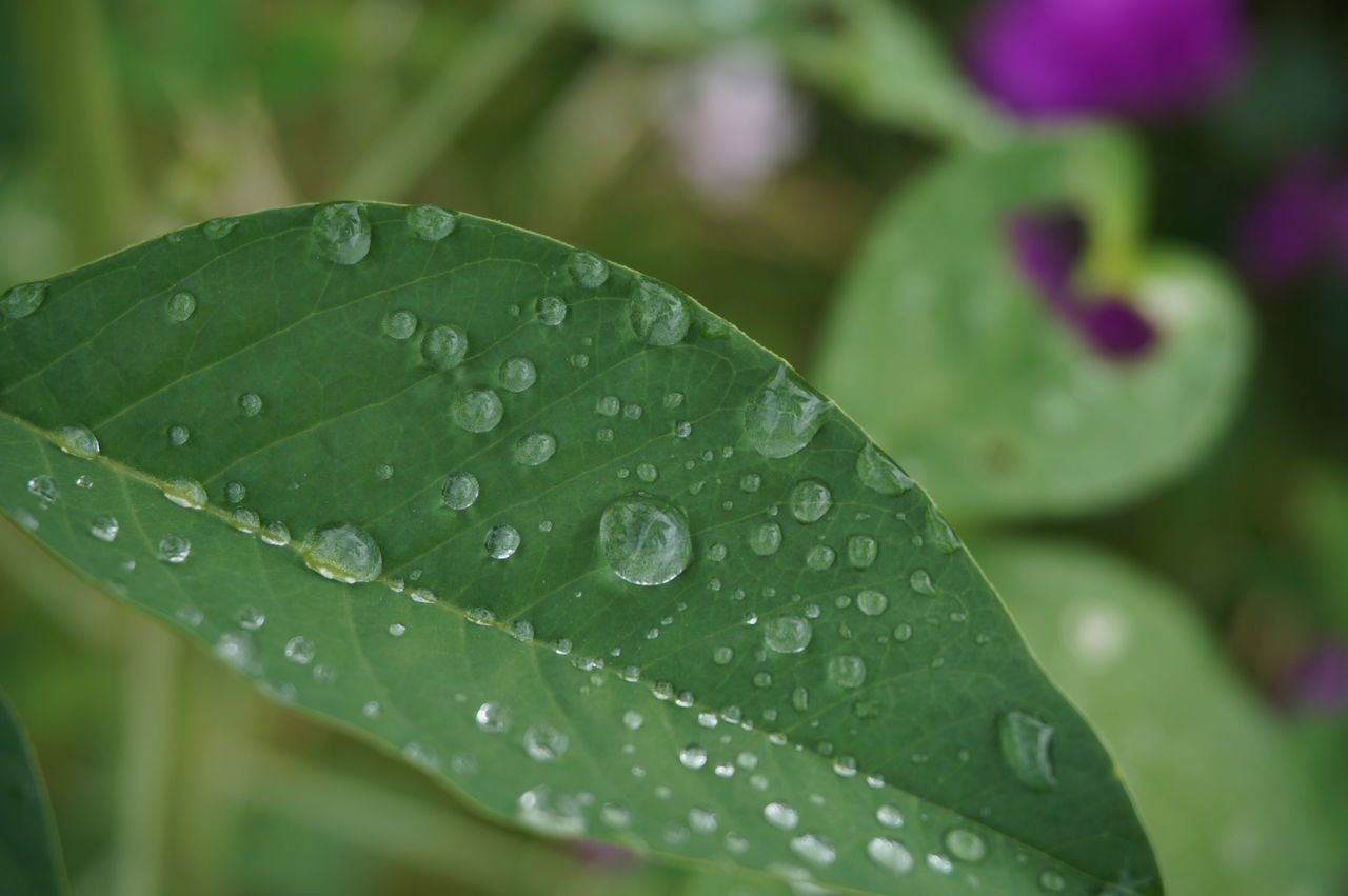 leaf, drop, green color, close-up, wet, water, growth, nature, no people, day, raindrop, outdoors, fragility, freshness, plant, beauty in nature, periwinkle
