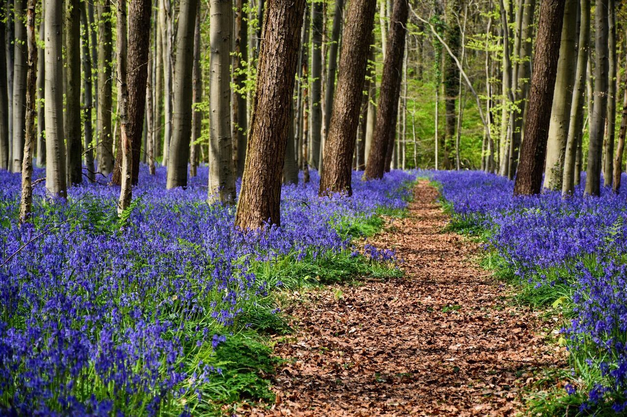 The beauty of the blue forest. Located in Halle, Belgium. EyeEmNewHere Nature Purple Beauty In Nature Flower Growth Forest Tree Tranquil Scene Landscape No People Outdoors Hallerbos Plant Tranquility Flowerbed