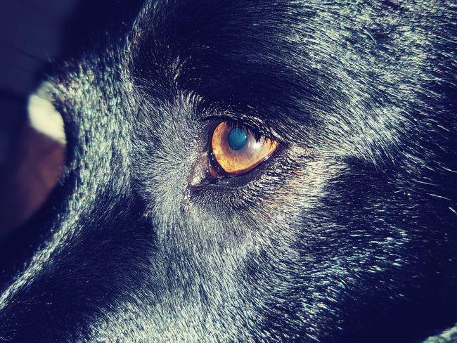 Dog Collie Cross Animal Eye Black Yellow Iris Dramatic Angles