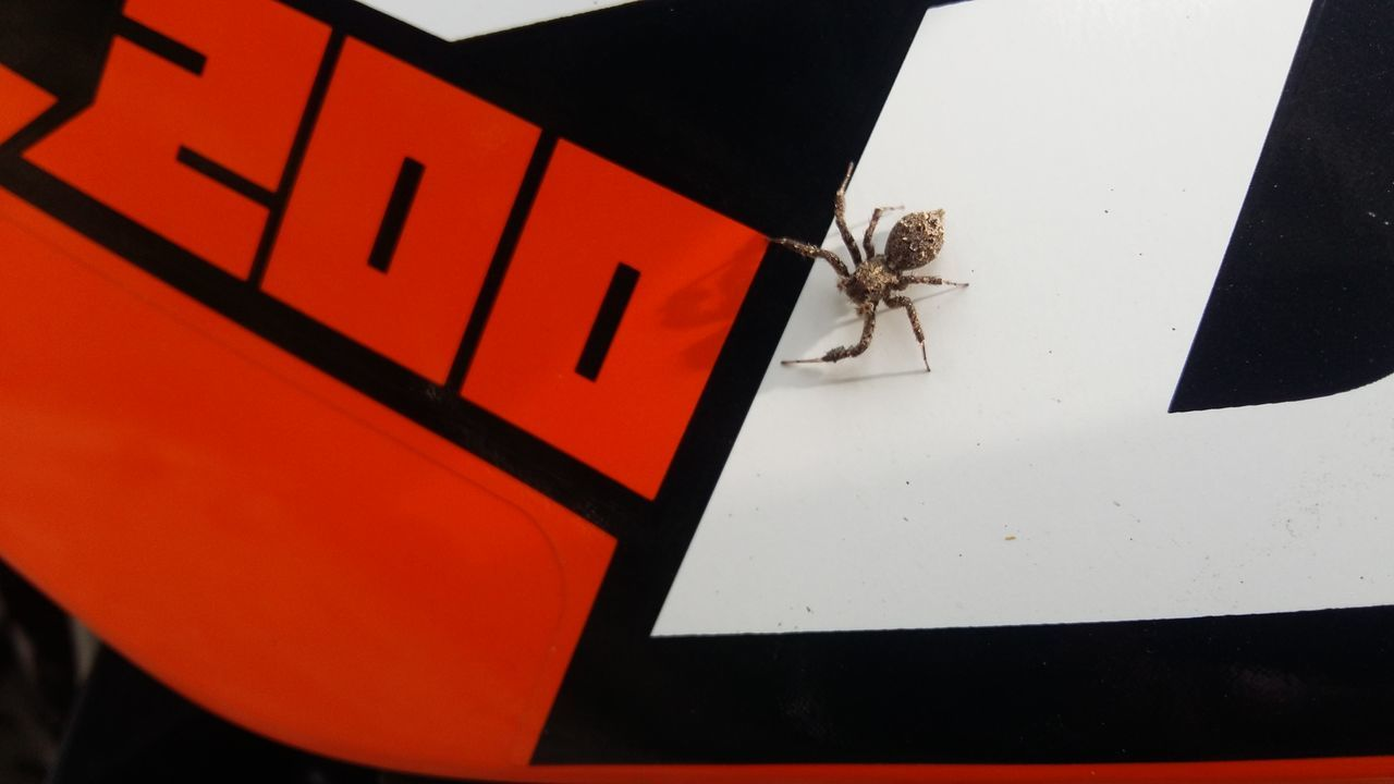 spider-rider... (on a tank of duke 200) Insect Day Close-up Spider Spider Nature_collection Eyenaturelover Spider Macro Spiderworld BYOPaper! EyeEmNewHere Live For The Story