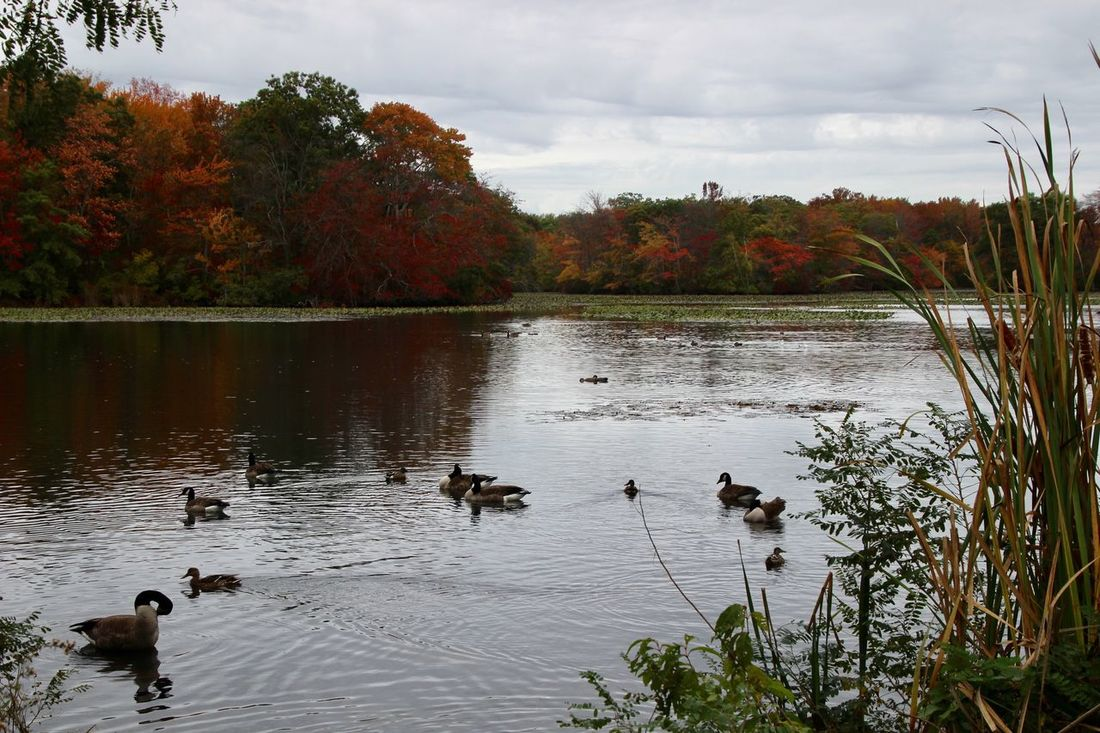 Scenics Beauty In Nature autumn at the lake Animals In The Wild Geese and ducks Swimming Outdoors Sky Water Landscape Tranquility