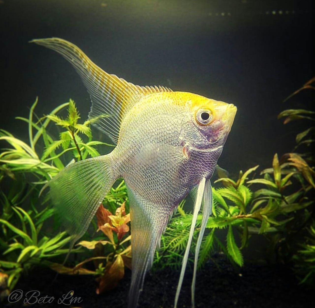 Fish PEZ Angel Plantado Pterophyllumscalare