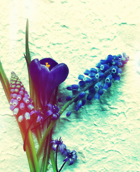 Background Beauty In Nature Blue Close-up Copy Space Crocus Filtered Image Foliage Fresh Flowers Grape Hyacinths Nature Nobody Overhead Phone Camera Purple Scilla Seasonal Stems Symbols Textures