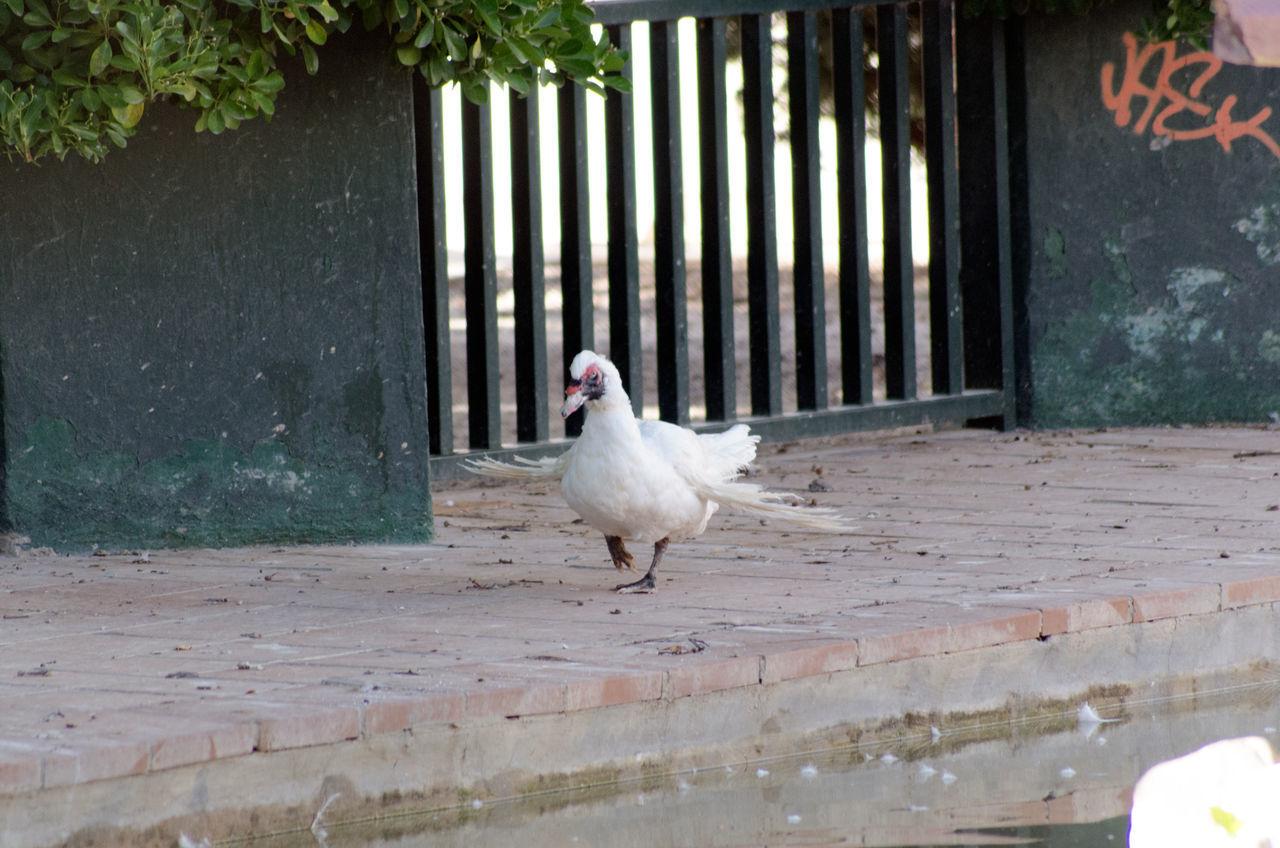 Pato 2015  Animal Themes Bird Day Domestic Animals Eddl No People One Animal Outdoors Zaragoza