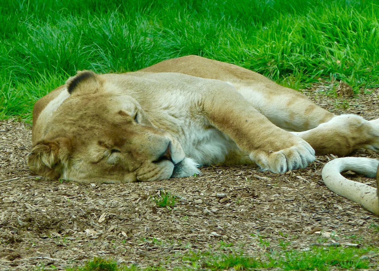 Lion Sleeping Whipsnade Zoo Relaxation Animal Themes Lying Down Grass One Animal Mammal Day Animals In The Wild No People Outdoors