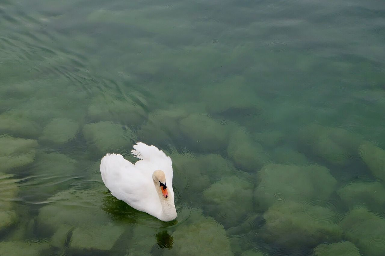 one animal, white color, animal themes, animals in the wild, water, swimming, lake, swan, water bird, waterfront, day, nature, no people, animal wildlife, bird, floating on water, outdoors, beauty in nature