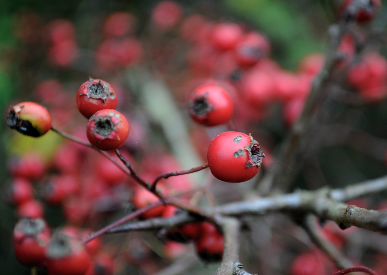 Autumn Berries Bird Food British Countryside Close-up Day Focus On Foreground Growth Hawthorn Hedgerow Nature Outdoors Red