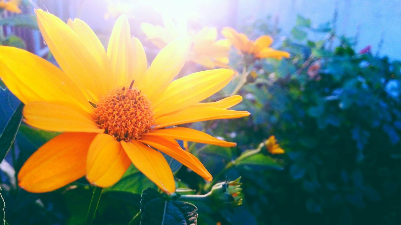 Nature Outdoors Flowers Heliopsis
