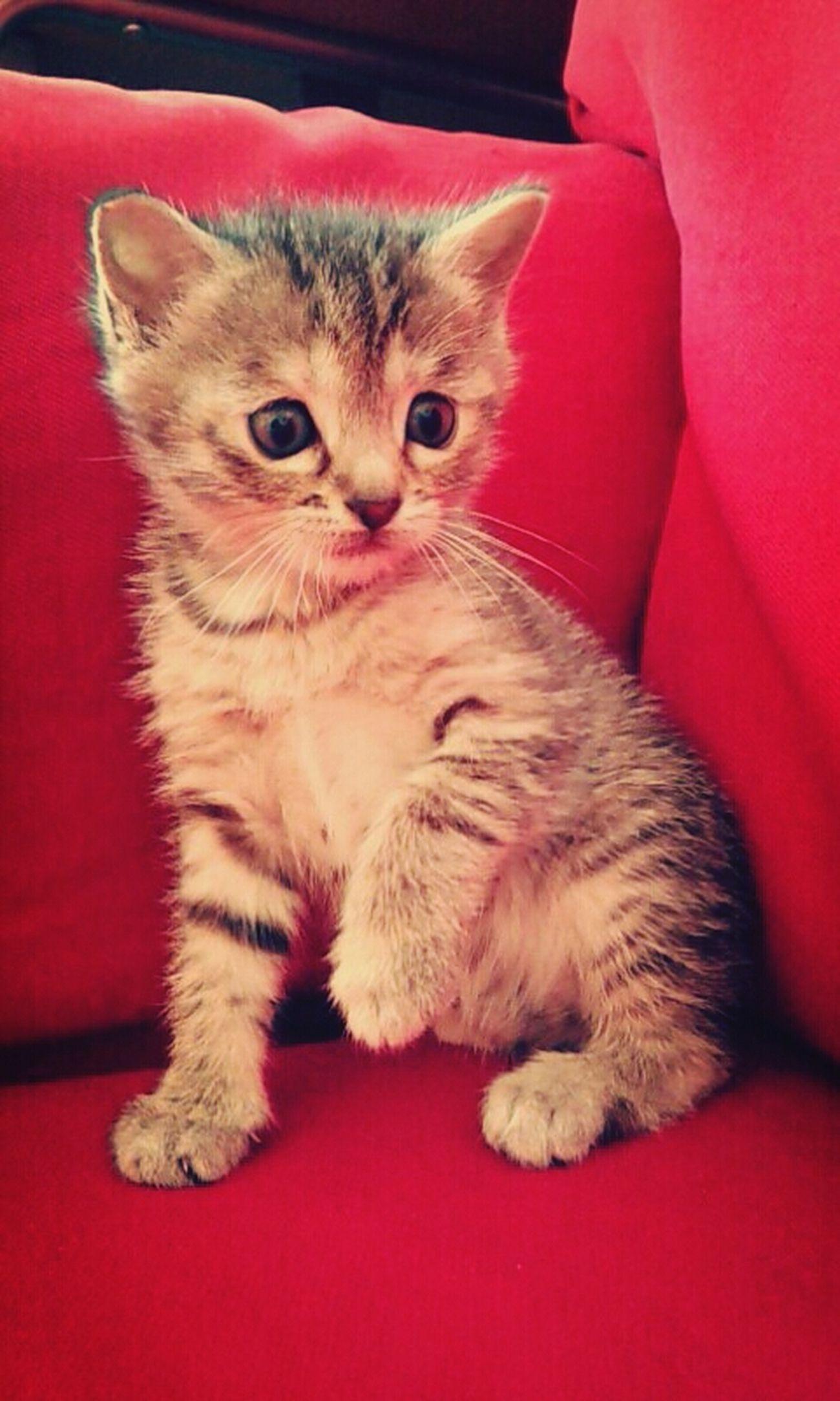 Petite crapule. Tala  Cat Kattycat Pet Photography