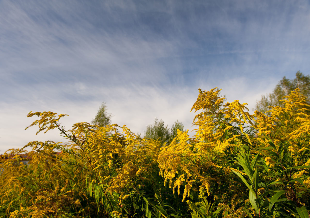 Solidago virgaurea or Goldenrod flowers, Woundwort yellow herb plant, honeybee taking nectar in plenty bushy bee plants with rampant inflorescences and blue sky view, horizontal orientation, photo taken in Poland, early autumn season. Abloom Autumn Autumn Blooming Blossoming  Blossoms  Day Flower Flowering Flowers Goldenrod Herb Herbal Inflorescences Nature Nature No People Perennial Plant Plants Solidago Solidago Virgaurea Woundwort Yellow
