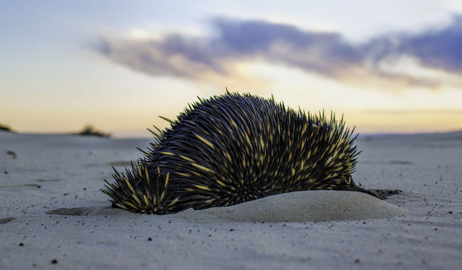 Echidna in the Dunes at Stockton Beach, NSW, Australia. Full Resolution Image at https://flic.kr/p/wPncmP. Echidna Animals Animal Wildlife Wildlife & Nature Animal_collection EyeEm Animal Lover Sunset Sunset_collection EyeEm Best Shots - Sunsets + Sunrise