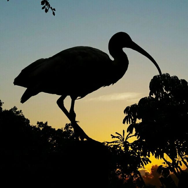 the infamous Ibis Silhouettes No Edit No Fun Sunset_collection Sunset Ibis Bird
