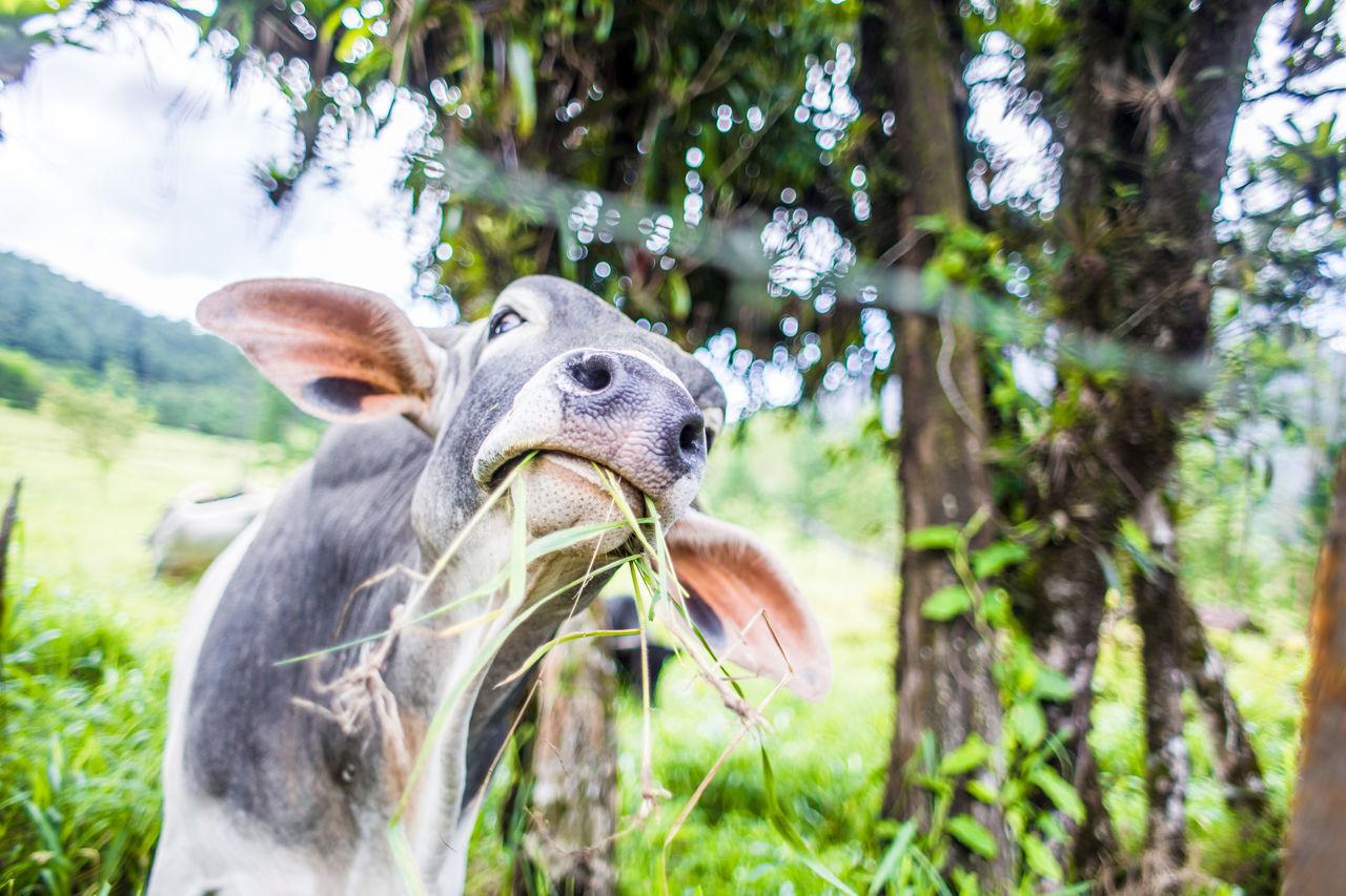 Beautiful stock photos of cow, Animal Head, Animal Themes, Calf, Close-Up