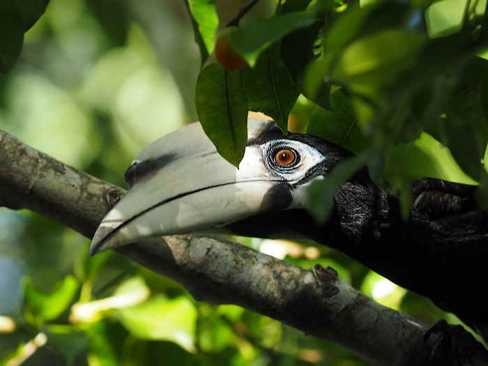 Anthracoceros albirostris Anthracoceros Albirostris Hornbill Michael Maresca Animal Themes Animal Wildlife Animals In The Wild Beauty In Nature Bird Close-up Day Focus On Foreground Green Color Nature One Animal Outdoors Perching Tree