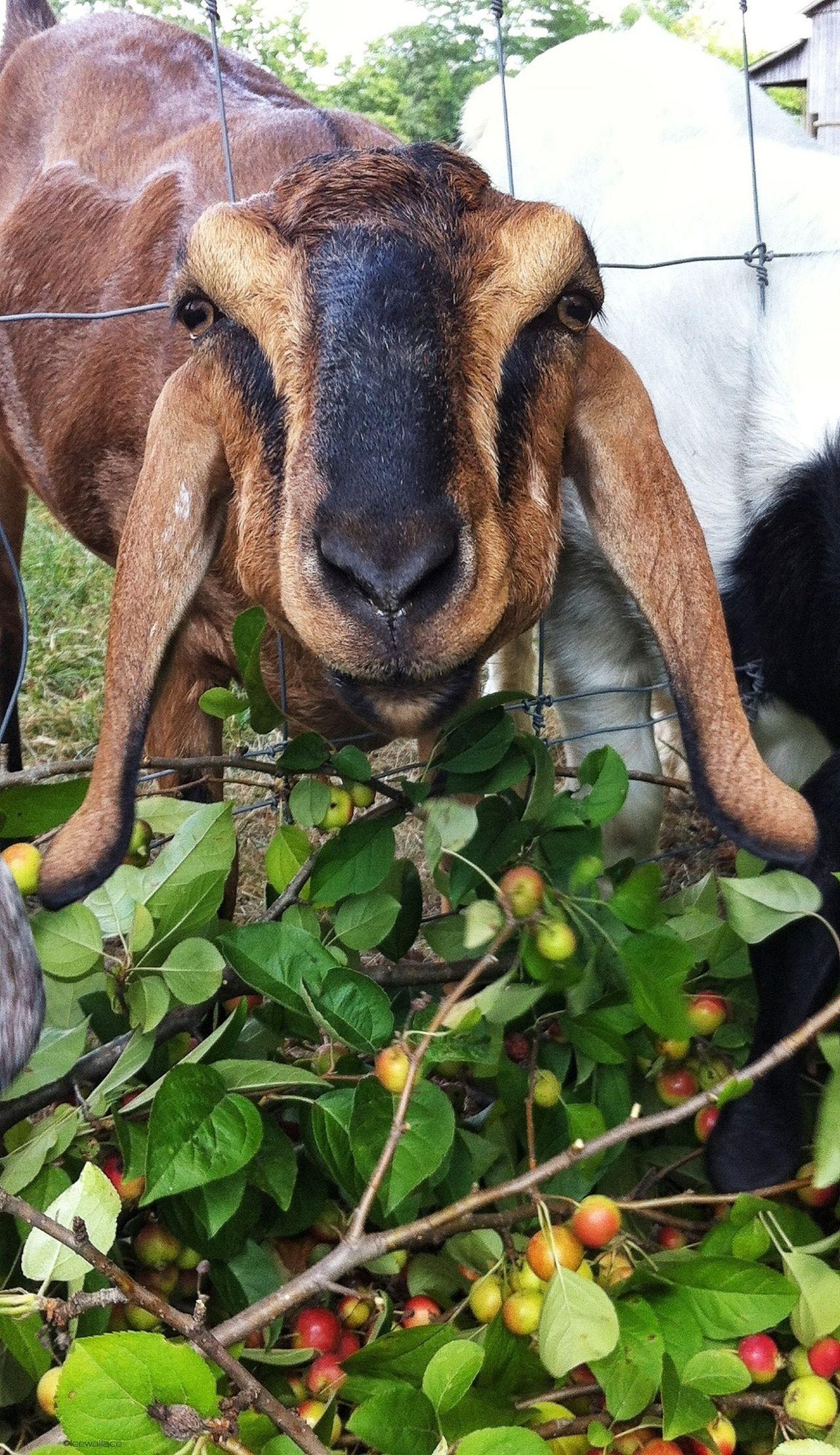 Goat Goats