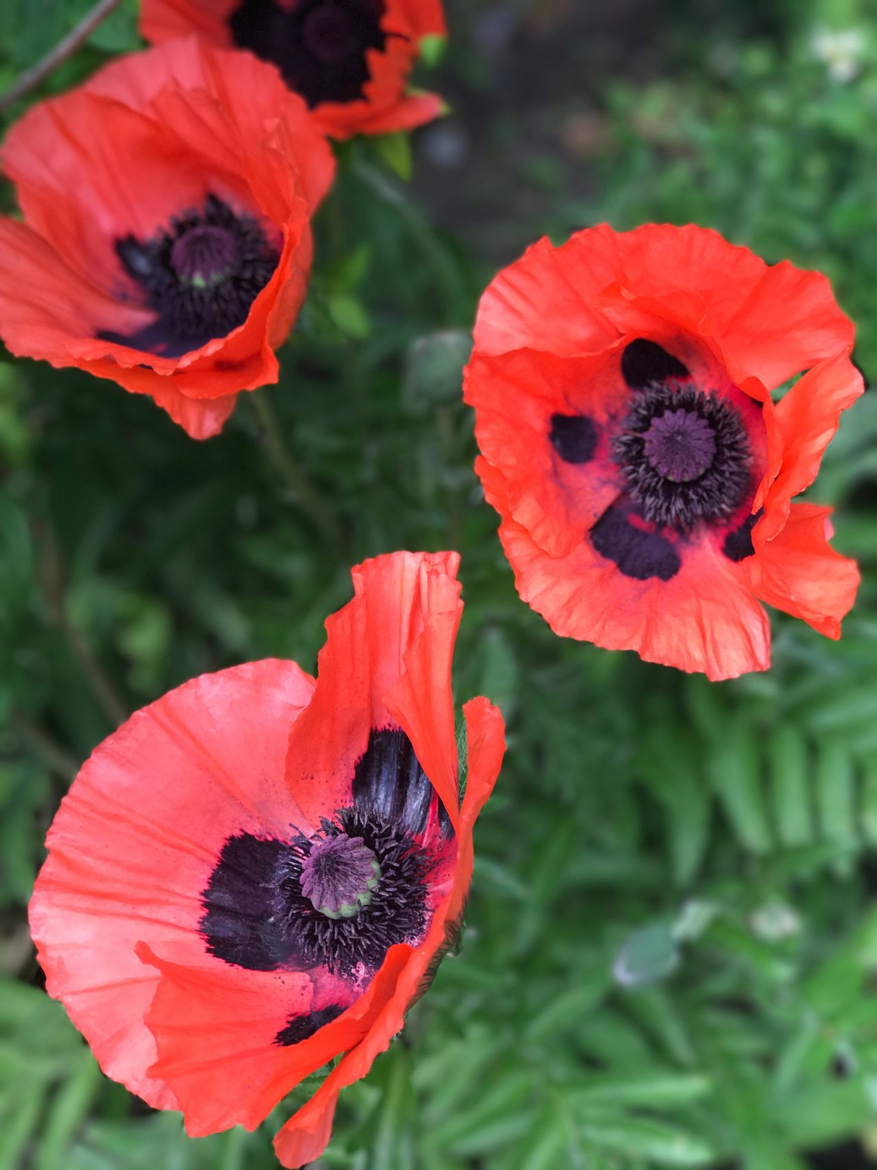 Flower Petal Beauty In Nature Plant Outdoors Red Focus On Foreground Poppy Poppy Flowers Poppies