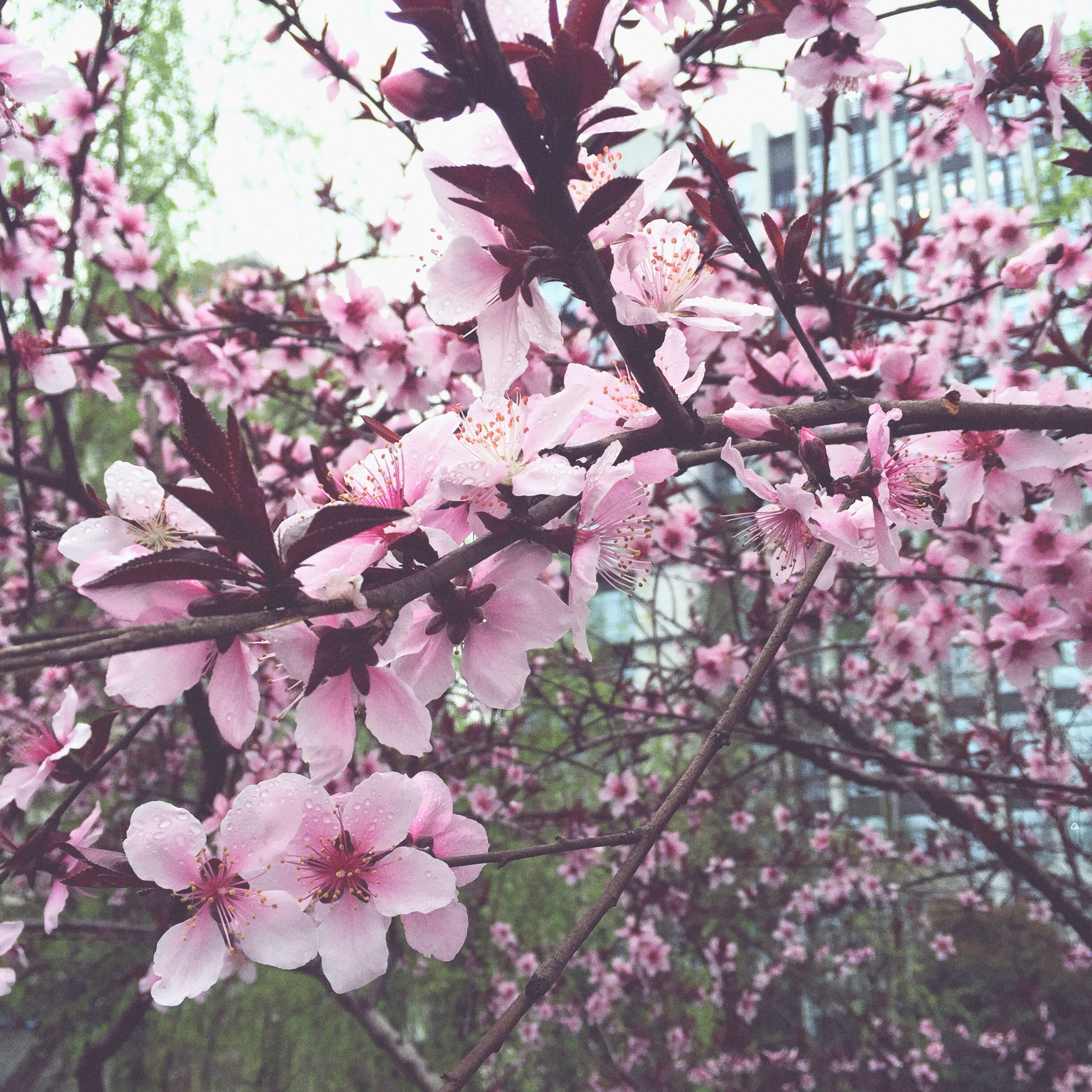 flower, freshness, growth, branch, pink color, fragility, tree, beauty in nature, nature, blossom, cherry blossom, in bloom, low angle view, blooming, petal, springtime, cherry tree, pink, day, botany