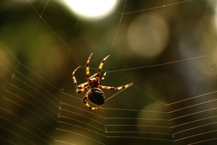 Spider Spider Web Animal Themes Nature Close-up Spider Insect