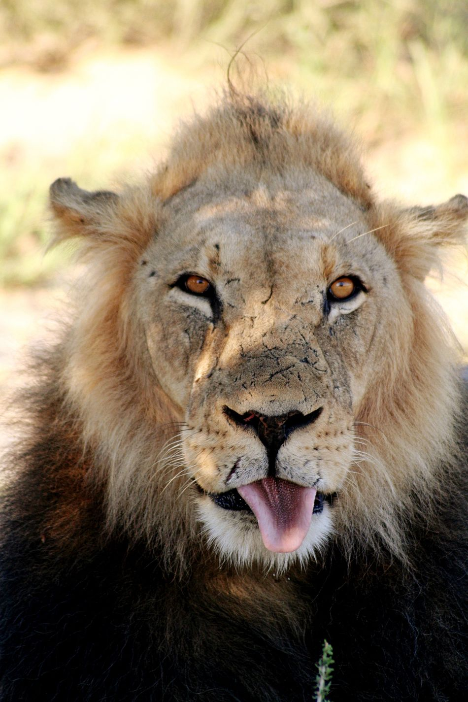 One Animal Animal Themes Animals In The Wild Portrait Mammal Animal Wildlife No People Outdoors Lion - Feline Close-up Day Safari Animals Nature Baboon scar Scary Face Scars Scarface Looking At Camera Tounge Out  Tounge Action Tounge Lion King  Natural Parkland Beauty In Nature Animals In The Wild