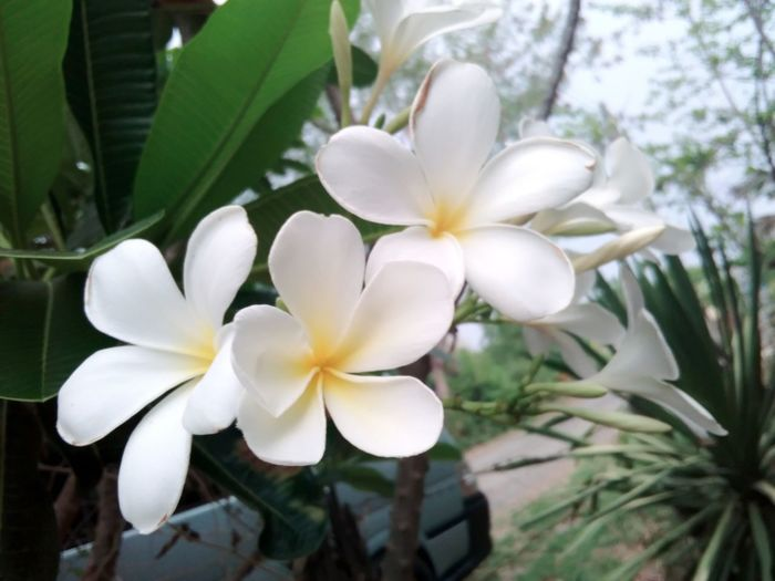 Plumeria First Eyeem Photo