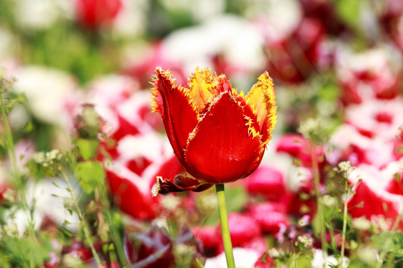 A red fire tulip standing tall from a crowd of pink fire tulips Beautiful Beauty In Nature Blood Red Blooming Blossom Fire Tulip Fire Tulips Flora Flower Red Season  Tulips