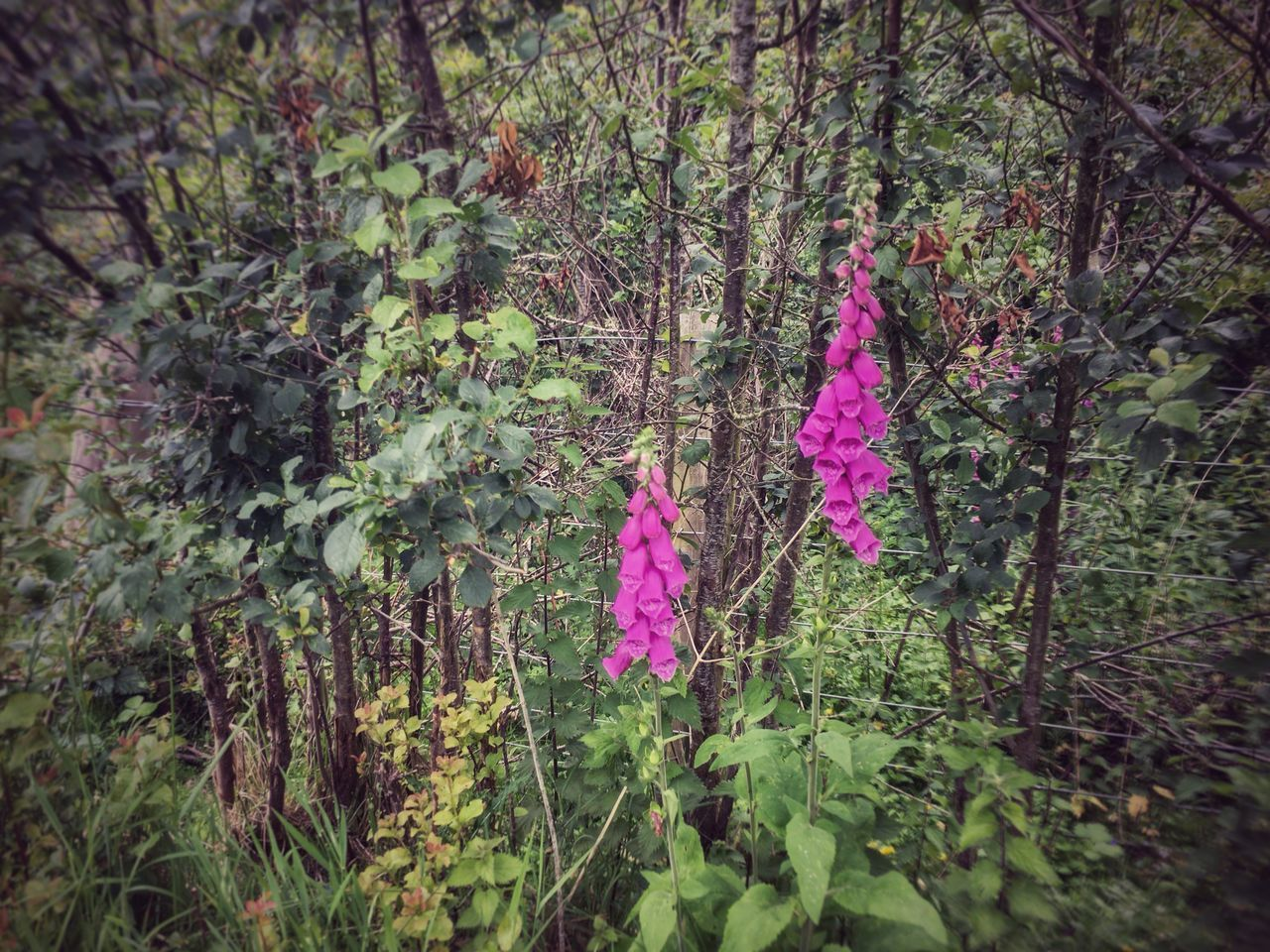 Foxgloves Flowers, Nature And Beauty Flowers_collection IPhoneography Perthshire Scotland Scotland 💕 Colours Close-up Snapseed
