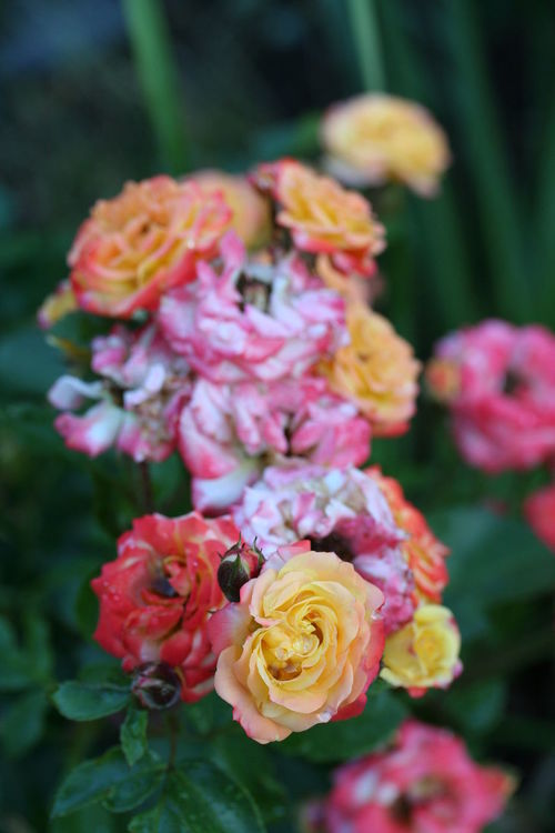 Coulourful roses Colourful Beauty In Nature Blooming Close-up Flower Flower Head Nature Plant Rose - Flower