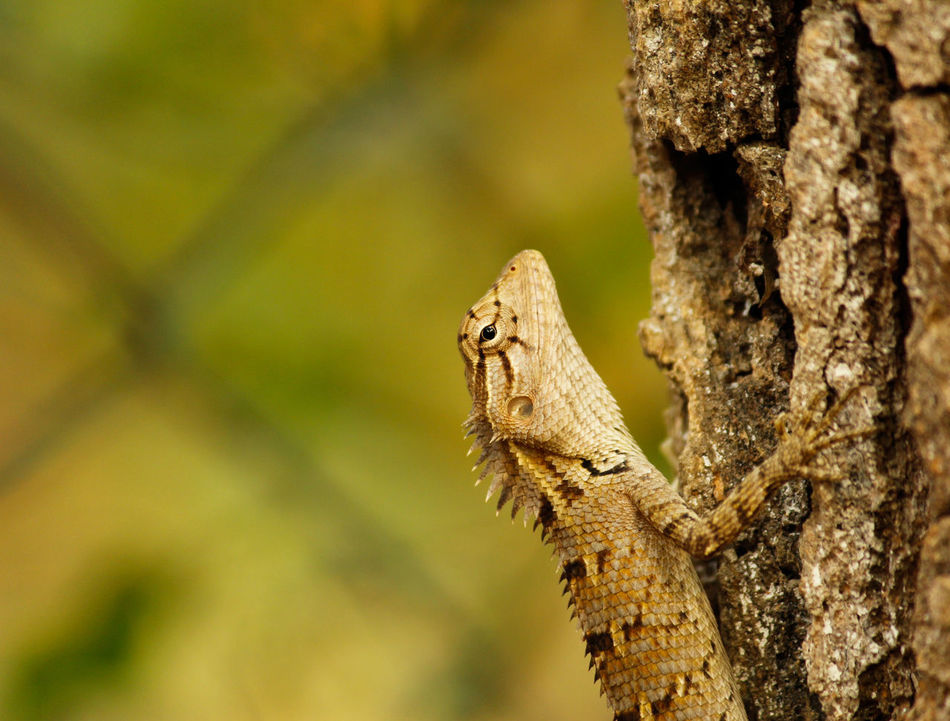 Garden Lizard One Animal Reptile Lizard Close-up Outdoors Nature Animal Wildlife Animal Themes Reptile Photography No People