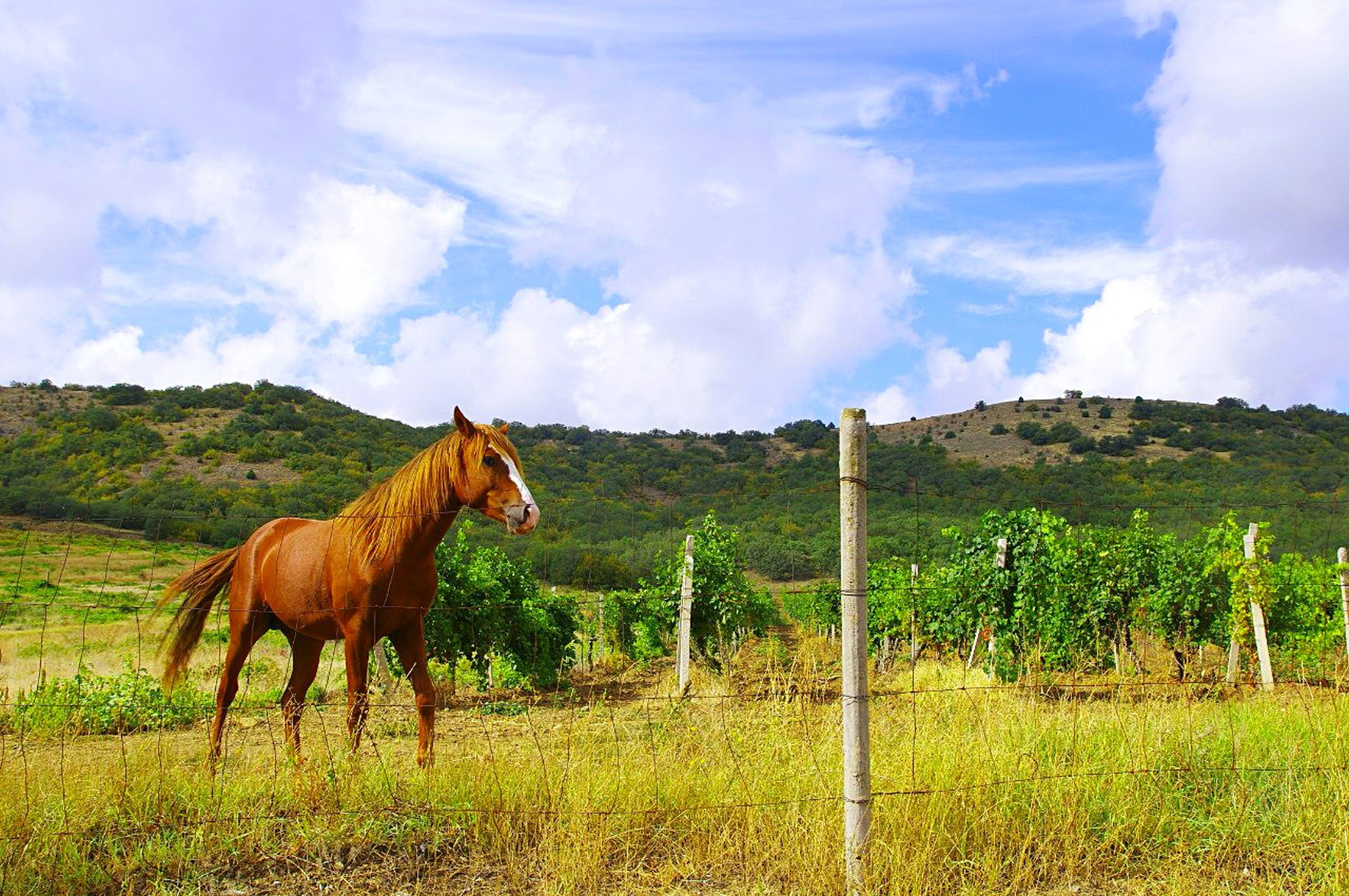 animal themes, horse, mammal, domestic animals, field, sky, grass, livestock, landscape, herbivorous, one animal, grazing, grassy, cloud - sky, tree, standing, rural scene, nature, fence, pasture