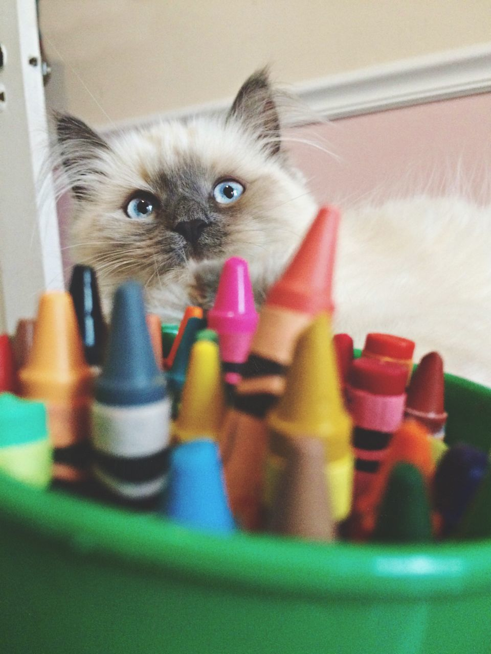 domestic cat, pets, domestic animals, feline, animal themes, one animal, mammal, whisker, cat, indoors, looking at camera, portrait, selective focus, kitten, sitting, young animal, no people, alertness, siamese cat, playing, day, persian cat, close-up