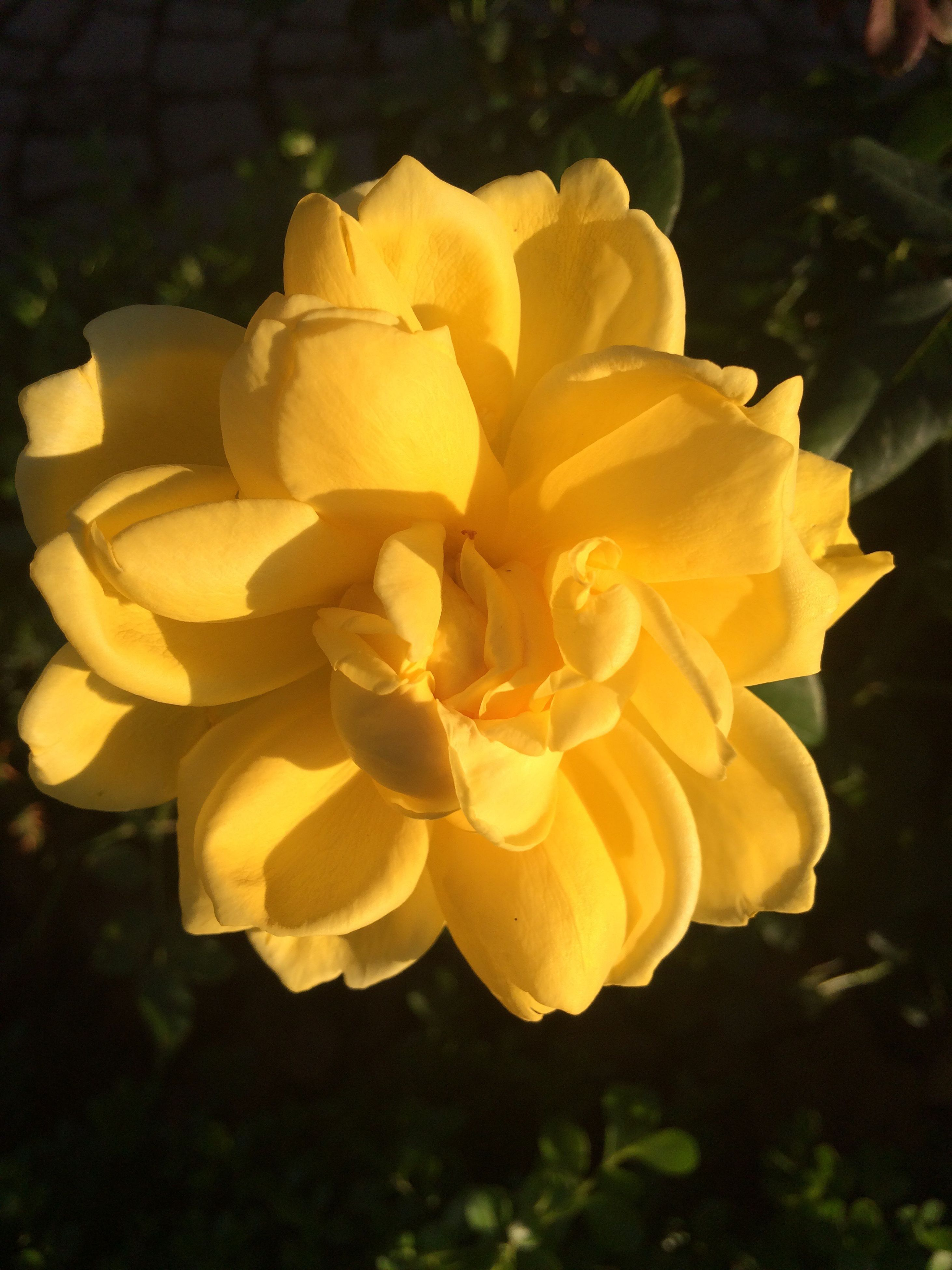 flower, petal, freshness, fragility, flower head, close-up, yellow, beauty in nature, growth, nature, springtime, plant, rose - flower, single flower, blooming, in bloom, softness, blossom, day, vibrant color, focus on foreground, no people, botany, growing