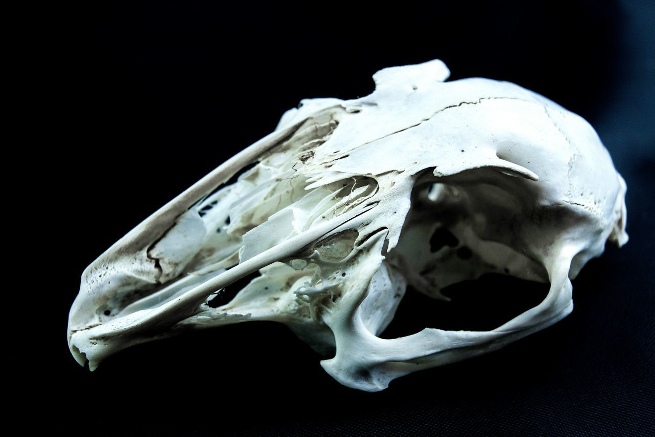 Beautiful stock photos of skull, Anatomy, Animal Skull, Black Background, Dead Animal