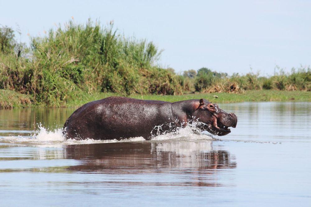 Hippopotamus Hippo Running Water Animals In The Wild One Animal Animal Themes Botswana Okavango Delta African Abroad