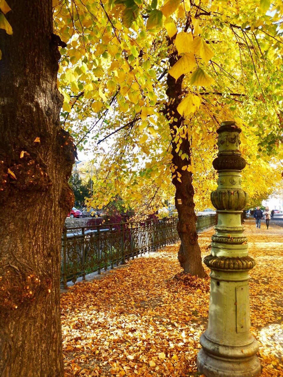 autumn, tree, leaf, change, nature, beauty in nature, tree trunk, day, outdoors, park - man made space, scenics, tranquility, growth, maple tree, branch, no people, tranquil scene, yellow, maple